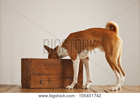 Cute white and brown basenji dog looking inside an old brown wine box isolated on white