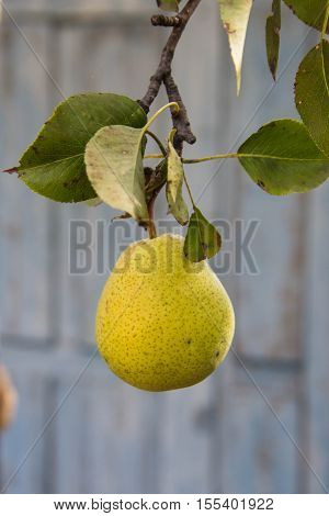 Pear tree with green pears. Pear tree in a garden. Summer fruits garden. Green pears on the tree. Crop of pears. Green pears in the garden on a sunny day. Branch of pear tree with pears and leaves.