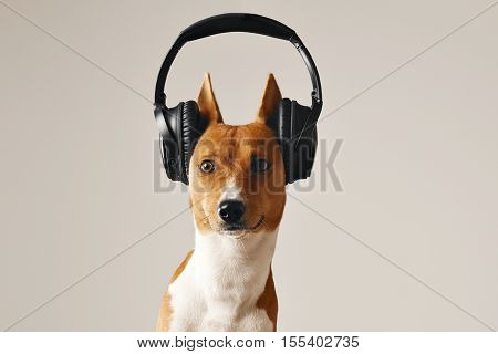 Brown and white basenji dog with eyes open wide wearing large black wireless headset, close up shot isolated on white