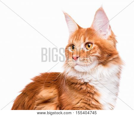 Portrait of domestic red Maine Coon kitten. Beautiful young cat cat looking away. Curious young orange kitty isolated on white background.