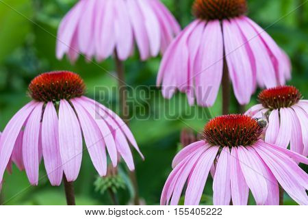 Macro of purple coneflowers - Echinacea purpurea