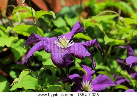 A view of the beautiful purple climbing plant Clematis