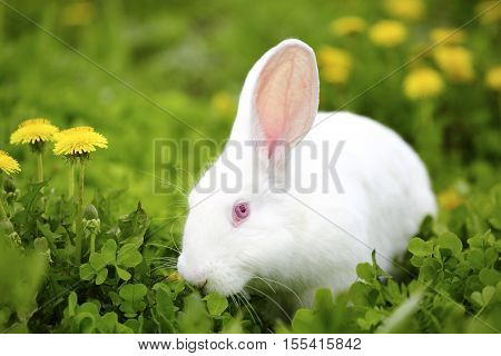 White Easter bunny hiding in a field of dandelions