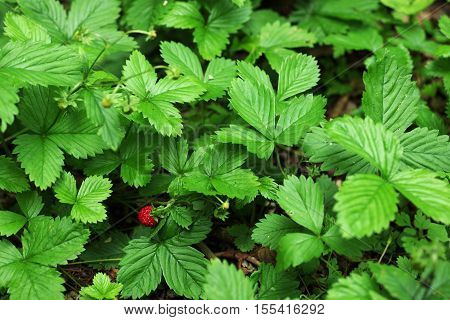 One bright red woodland strawberry between the leaves poster