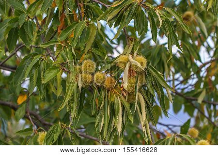 Chestnut burr. Chestnut (Castanea sativa) fruit in a branch.