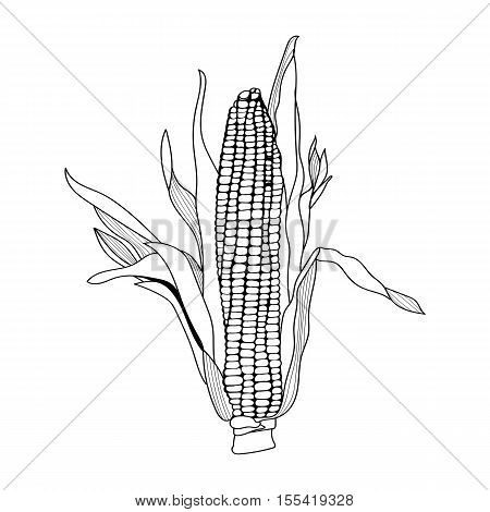 Corn, Maize, vintage engraving. Monochrome illustration with corn on a white background. Illustration, vector, isolated.