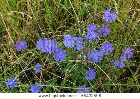 Chicory / Common chicory, Cichorium intybus, is a somewhat woody, perennial herbaceous plant usually with bright blue flowers, rarely white or pink.