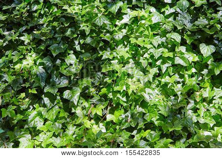Dense thickets of a green liana on a wall