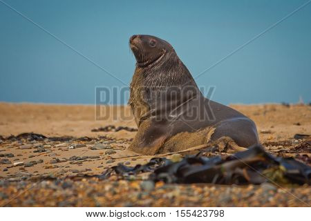 Sea Lion at the coast of New Zealand