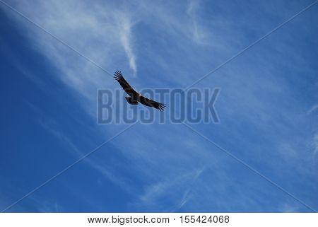Flight of the Condor in a deep canyon. Peru