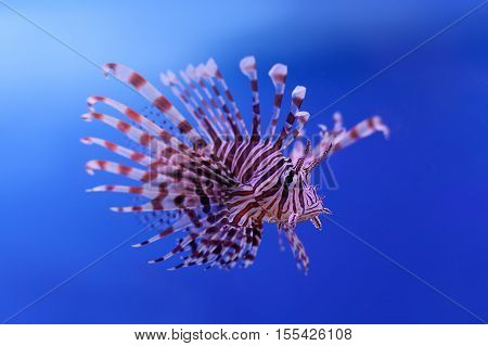 Swimming red lionfish. Pterois miles. dangerous extraordinary, poisonous ocean fish. blue background