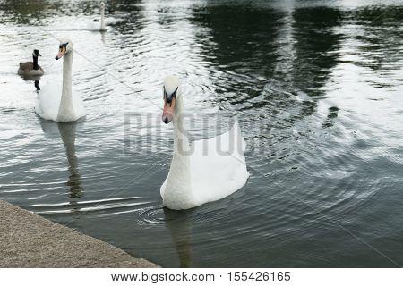 Swan In A Lake In Hyde Park, London, Uk.