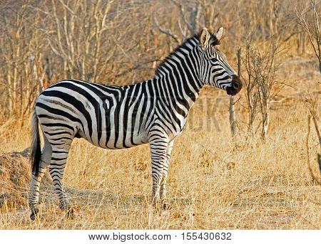 Lone Burchell Zebra standing in the bush in Hwange National Parkbush,