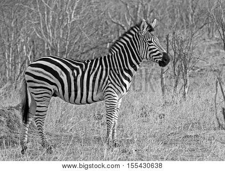 Burchell Zebra standing in the bush in black & white