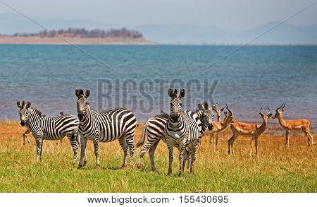 Burchells Zebra and Impala standing on the shoreline of Lake Kariba in Zimbabwe
