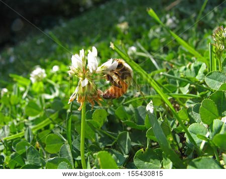 Odd angle shot of a honey bee hanging onto a white clover.