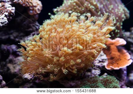 Tropical aquarium with marine invertebrates. Actiniaria. Heteractis malu Radianthus malu. soft focus