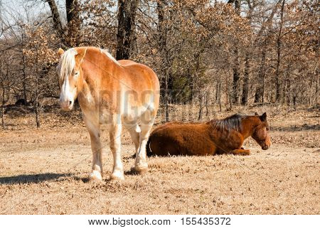 Two horses sleeping in sunny winter pasture