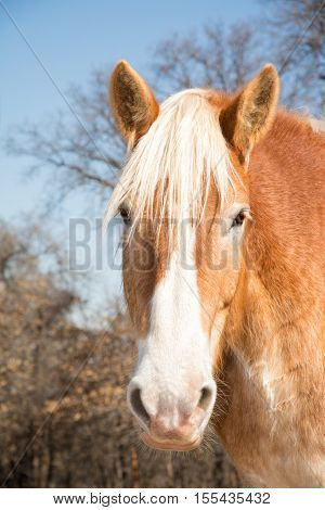 Belgian Draft horse head on, looking at the viewer with a curious expression