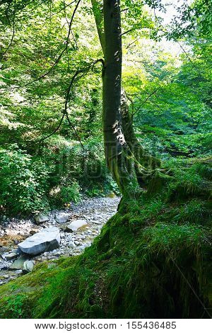 Old tree on a rock in the relict forest with a mountain stream on a sunny day