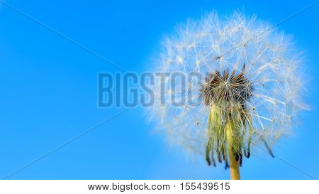 Dandelion white globular head of seeds on the blue sky background. Summer meadow with blooming dandelion. Beautiful summer field landscape. Copy space.