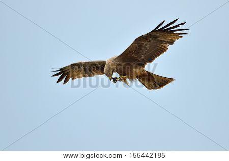 The African marsh harrier in flight (Circus ranivorus)