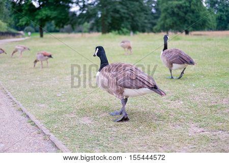 Ducks in Hyde Park London, United Kingdom