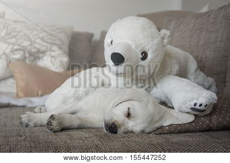 cuddly toy polar bear and a white labrador puppy cuddle on the couch and sleep