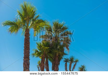 Beautiful exotic palm tree on blue sky