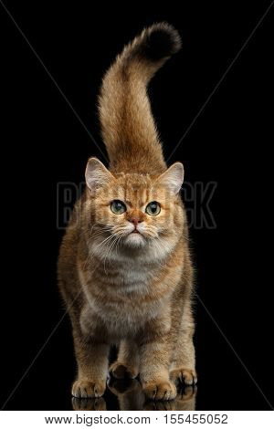 British breed Cat Gold Chinchilla color Standing with furry tail and Looking in Camera, Isolated Black Background, front view