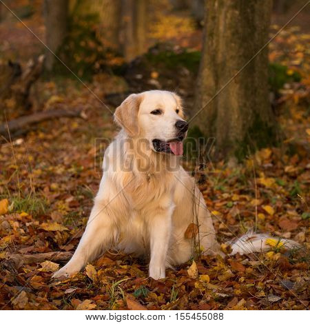 dog breed golden retriever playing on the background of autumn leaves yellow