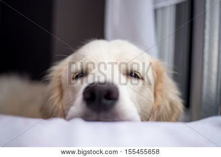 golden retriever sitting in interior, close-up, smile dog