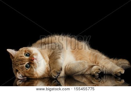 lazy British breed Cat Gold Chinchilla color Lying and Looking in Camera, Isolated Black Background, front view