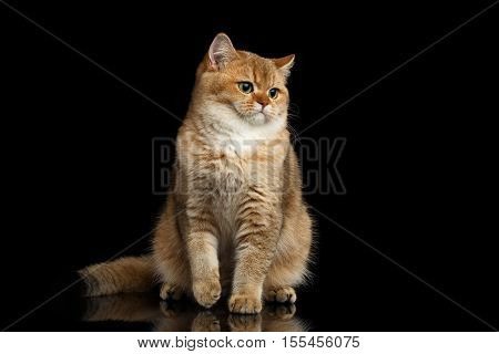 Furry British breed Cat Gold Chinchilla color Sitting and Looking in Camera, Isolated Black Background, Front view