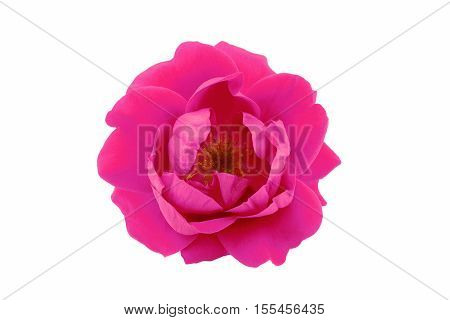 Pink tea rose isolated on white background