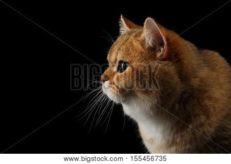 Close-up portrait of British breed Cat Gold Chinchilla color, Isolated Black Background, Profile view