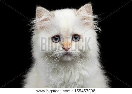 Close-up Furry British breed Kitten White color Looking in camera on Isolated Black Background