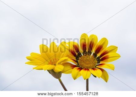 Two Yellow Gazanias, One Plain, One With Red And Black