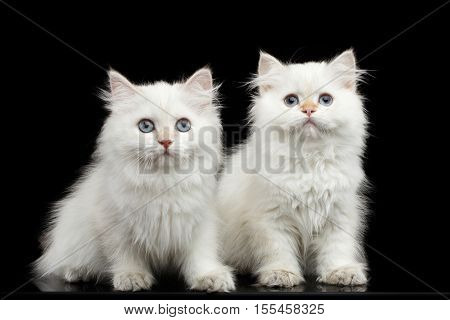 Two Furry British breed Kittens White color Sitting and Looking in camera on Isolated Black Background with reflection