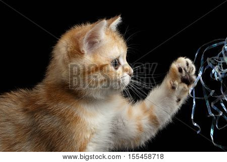 Close-up playful British breed Kitty Gold Chinchilla color with tabby, raising up paw, Isolated Black Background, Profile view