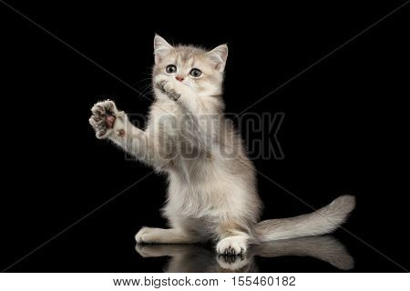 Playful British breed Kitty Beige color Sitting and stretched up on Isolated Black Background with reflection