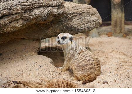 Meerkat, Suricate sitting on sand and rock