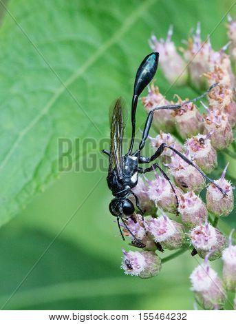 Thread-waisted wasp (Eremnophila aureonotata) nectaring on Marsh Fleabane