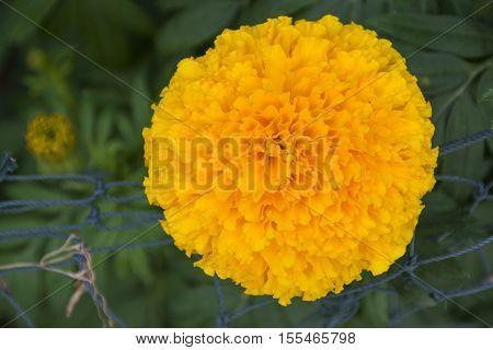 Marigold yellow illuminated closeup beautiful plant garden