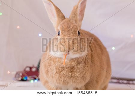 Beautiful rufous colored rabbit poses in soft light with red toy truck and sled in background