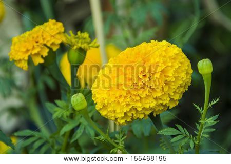 Marigold yellow illuminated closeup beautiful plant garden