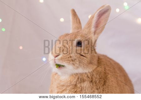 Beautiful rufous colored rabbit poses in soft light from side with mouth slightly open
