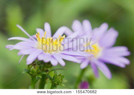 Beautiful Gerbera Daisy Flower In The Garden, Gerbera Is The Beautiful Flower For Wedding Decoration