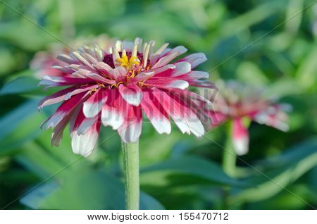 White And Red Hybrid Aster Flower In The Garden In Bangkok Thailand