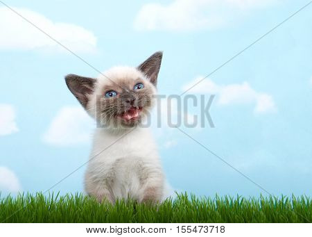 One tiny siamese kitten with munchkin traits sitting in grass looking to viewers right mouth open meowing talking. quizzical expression on face. Blue background sky with white clouds. Copy space.